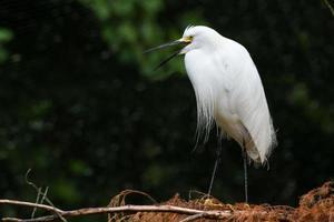 Snowy Egret Calling