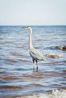 Great Blue Heron standing in ocean photo