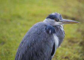 Grey Heron (Ardea cinerea) photo
