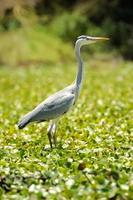 Heron (Ardea goliath) photo