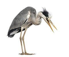 Angry Grey Heron, screaming, looking down, Ardea Cinerea, 5 year photo