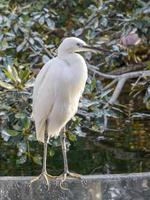 Pacific Reef Heron photo