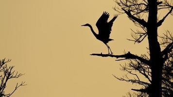 Blue Heron silhouette photo