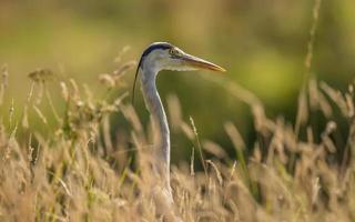 Grey Heron, Ardea cinerea, in the grass photo