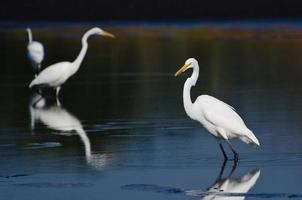 Three Great Egrets Hunting for Fish