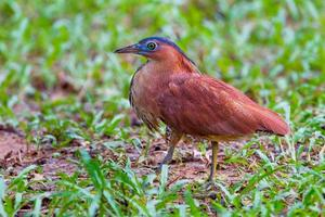 Rare Malayan Night Heron photo