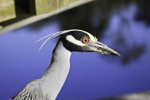 Night Heron Bird Closeup