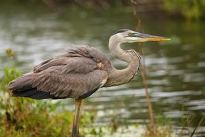 Great Blue Heron standing by the water. photo