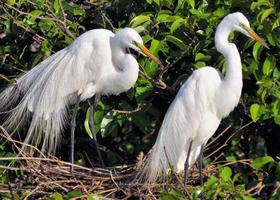 Egret Parents