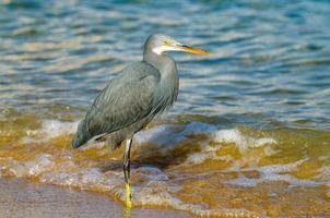 pesca de garza azul. egipt foto