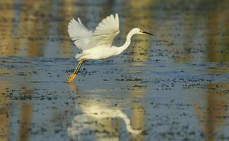 Graceful Snowy Egret