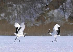 Japanese crane courtship dance