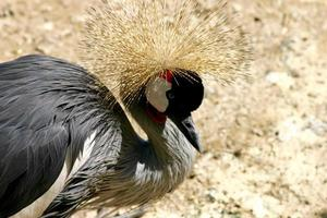 crowned crane photo
