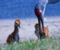 Sand Hill Cranes photo
