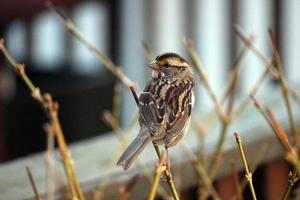 Close up of White-Throated Sparrow Perched on Twig