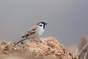 Eurasian Tree Sparrow sat on ploughed field