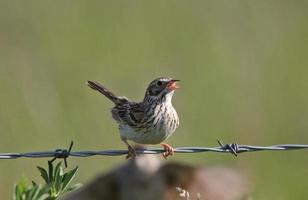 Savanah Sparrow perched on wire