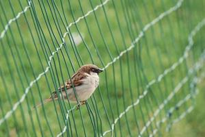 Sparrow in a wire fence photo