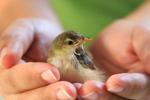 Sparrow on the palm of human hands