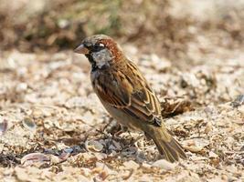 Little sparrow on a sand.