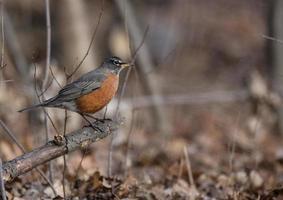 American robin on branch photo