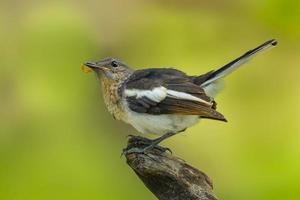 Beautiful position of young Oriental Magpie Robin