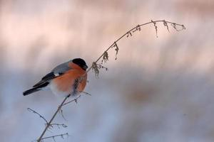 Eurasian Bullfinch photo