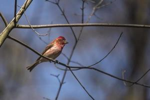 House Finch on a tree branch