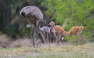 Baby Sandhill Crane with Grub photo