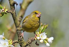 greenfinch en una ramita