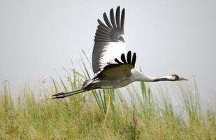 Common crane flying low