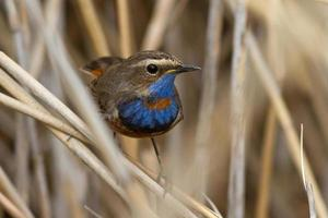 male Bluethroat red star-shaped sitting on cane