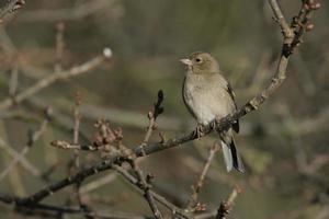 Chaffinch, Fringilla coelebs photo