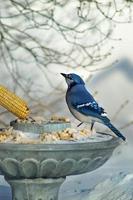 gaio azul comendo pão na neve