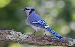 Big Blue Jay