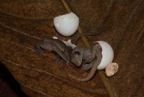 Hatching geckos