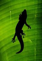 Backlit gecko