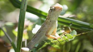Cerrar lagarto de cara negra, lagarto de árbol, lagarto de cresta verde. foto
