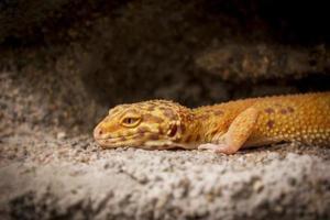 lindo lagarto posa para la cámara foto