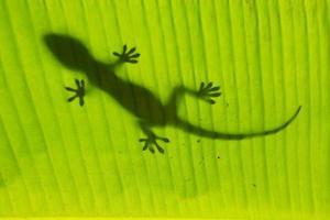 silueta de gecko tokay en una hoja de palmera