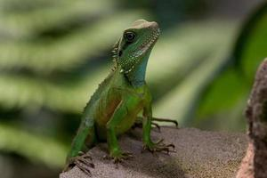 Green Gecko - Stock image