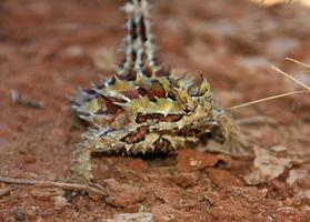 diablo espinoso, interior australia foto