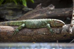 Caiman Lizard (Dracaena guianensis)