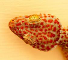 Large orange and blue gecko