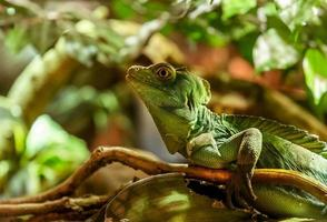 Iguana Green photo