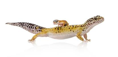 gecko leopardo - eublepharis macularius foto