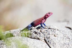 Colorful gecko in Serengeti