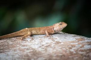 chameleon on stone, soft focus