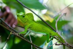 Green chameleon at tree branch in Singharaja Forest in SriLanka