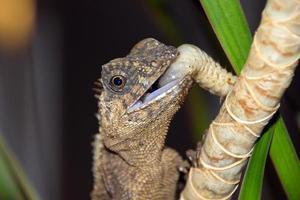 Lizard on a branch, Acanthosaura
